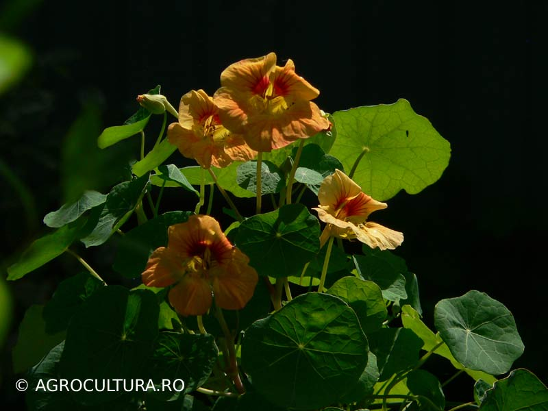 nasturtium-coltunas-catarator