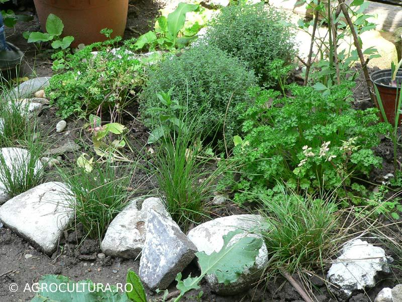 plante-aromatice-cimbru-patrunjel-leustean